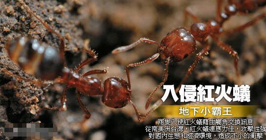 东京出现剧毒红火蚁,什么是红火蚁,他有什么危害?